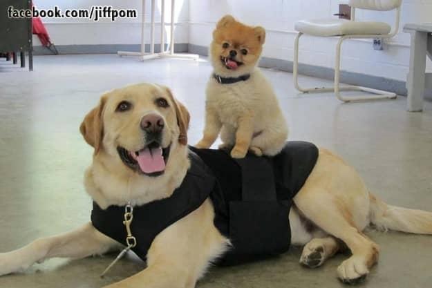 Conheçam Jiff, um cachorro muito de bem com a vida 3