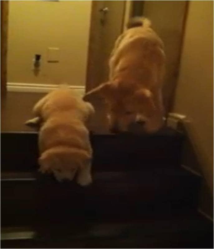 Cachorro ensina filhotinho a descer escadas 2