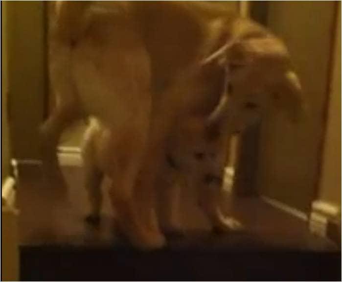 Cachorro ensina filhotinho a descer escadas 3