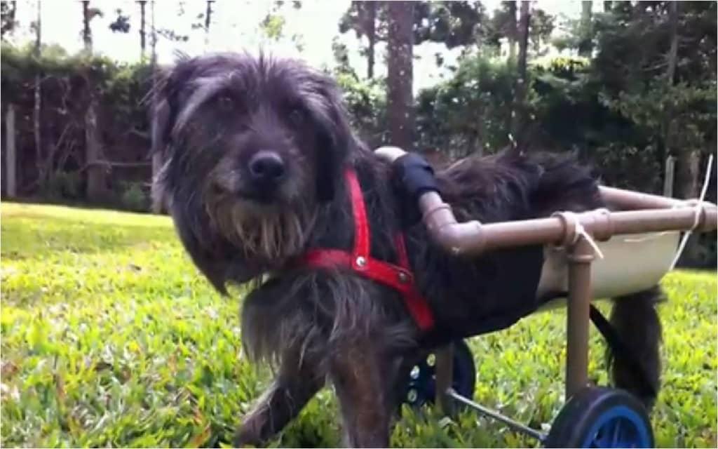 Cadelinha espancada volta à vida e anda de cadeira de rodas 2