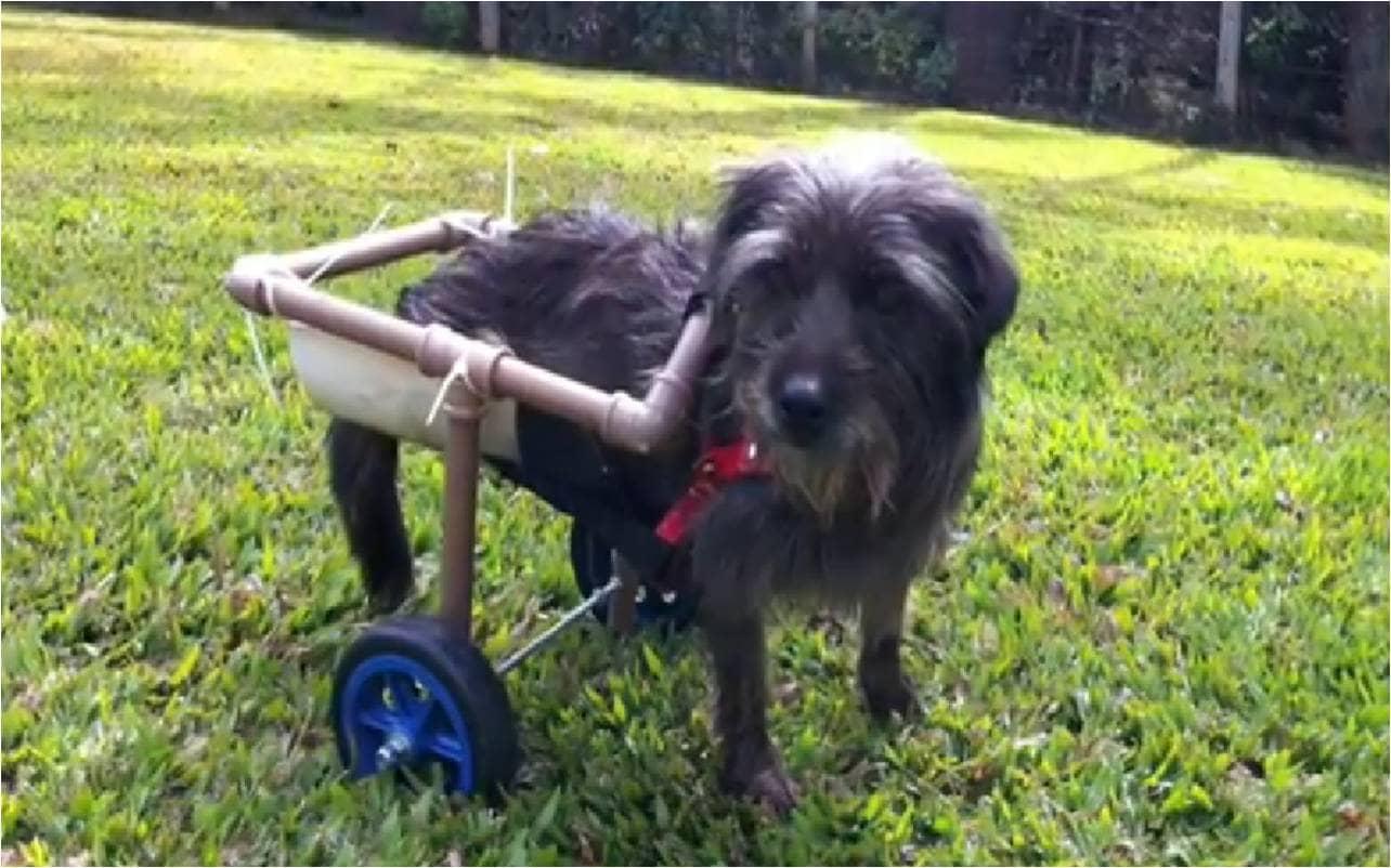 Cadelinha espancada volta à vida e anda de cadeira de rodas 5