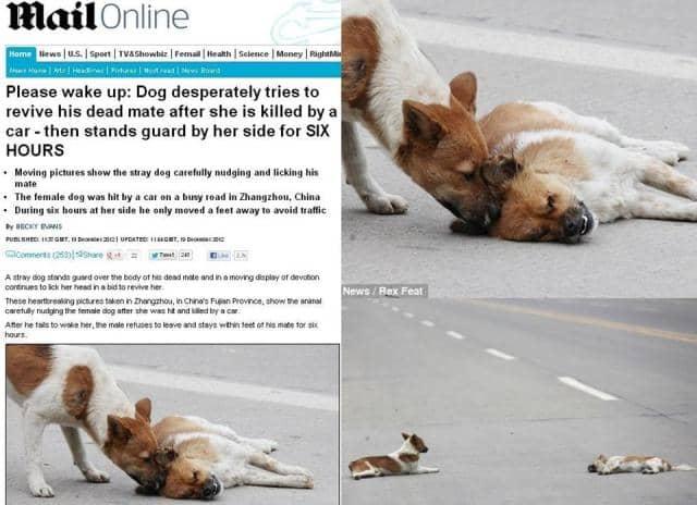 Cão tenta reviver sua companheira atropelada 1