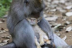 Macaca adota um gatinha na floresta de Bali 3