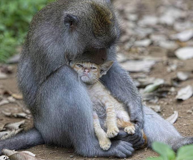 Macaca adota um gatinha na floresta de Bali 5