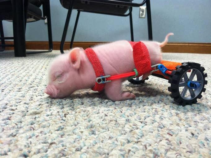 """Leitãozinho aprende a andar com """"cadeira-de-rodas"""" 4"""