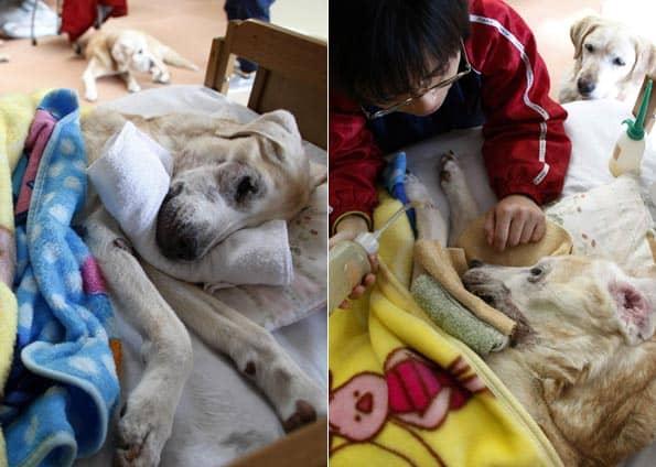 Japão tem asilo para cães-guias aposentados 3