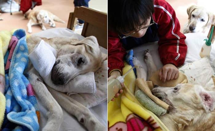 Japão tem asilo para cães-guias aposentados 1