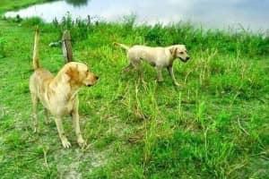 Cães nadam em lago à procura de dono que morreu afogado há 10 dias 1