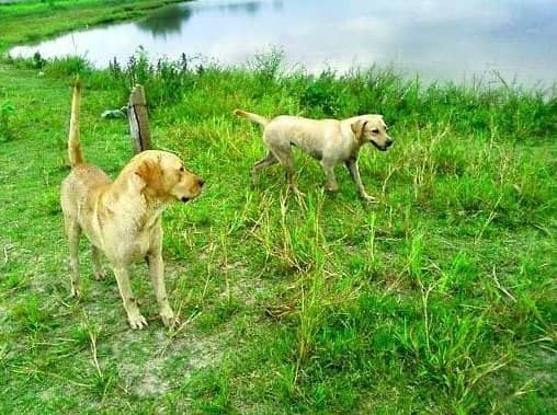 Cães nadam em lago à procura de dono que morreu afogado há 10 dias 4
