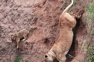 Mamãe leoa salva filhote em barranco 1