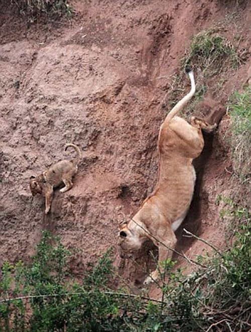 Mamãe leoa salva filhote em barranco 2