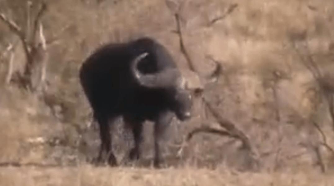 bufalo-resgata-filhote