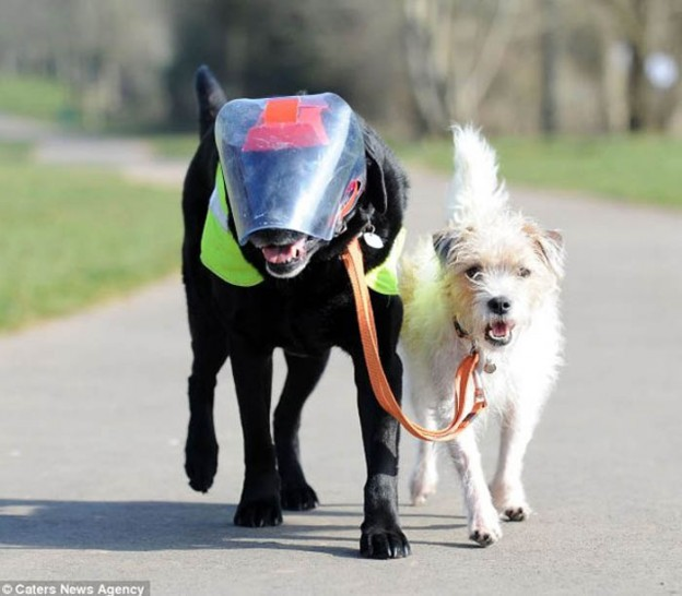 Cachorro vira cão-guia de labrador cego  1