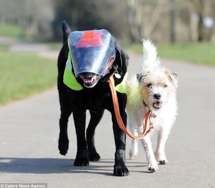 Cachorro vira cão-guia de labrador cego 3