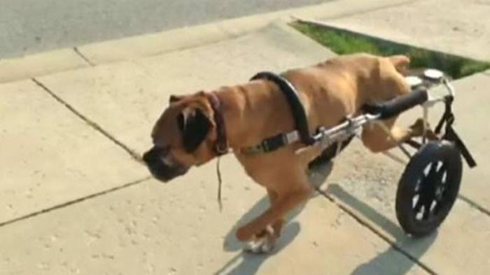 Garoto de 8 anos arruma emprego para juntar dinheiro e comprar cadeira de rodas para cão doente 1