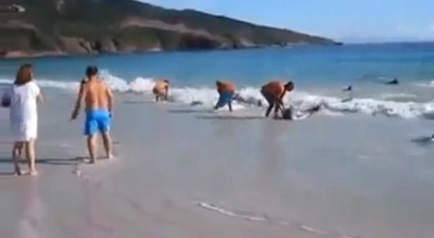 Pessoas na praia ajudam um grupo de golfinhos encalhados 1