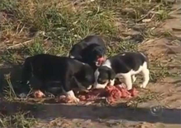 Cadela cruza cidade do interior de SP com carne na boca para dar a filhotes 2