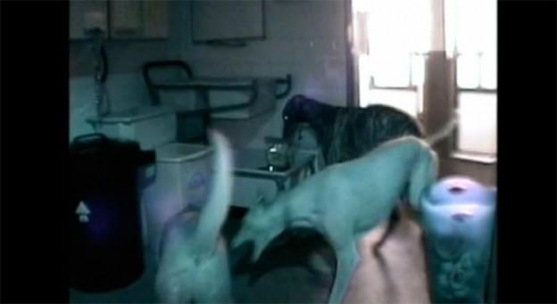 Cão organizava festas noturnas em abrigo inglês 1