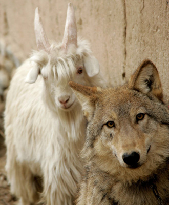 Wolf-and-goat