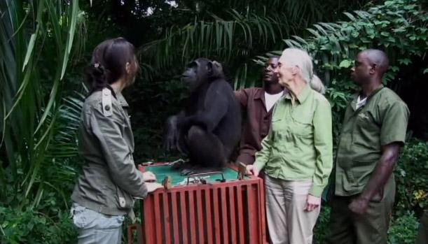 chimpanze4