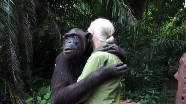 chimpanze6