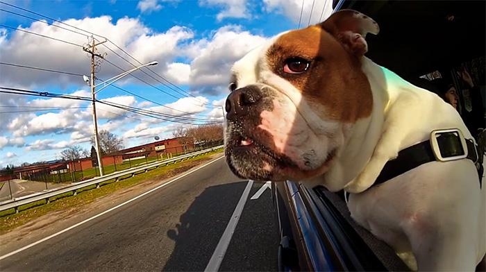 Vídeo mostra cães felizes nas janelas dos carros 3