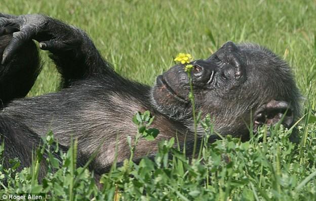 Vídeo mostra grupo de chimpanzés vendo a luz do dia pela primeira vez em suas vidas 1