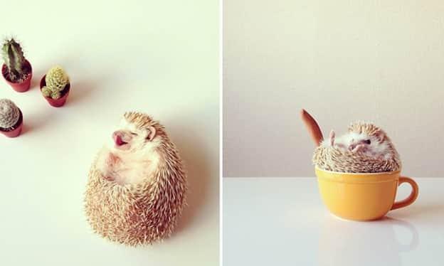 Conheçam Darcy: o ouriço mais cativante do mundo 2
