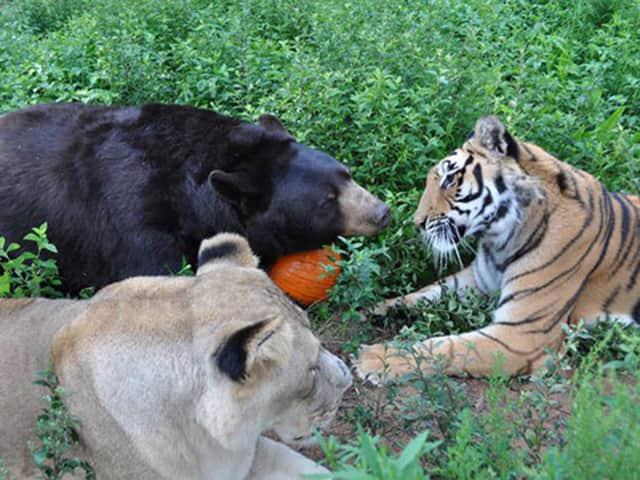 Resgatados de traficantes, leoa, tigre e urso formam uma família diferente (mas feliz!) 3