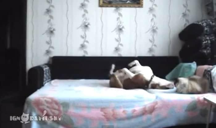 Proibido de subir na cama, cachorro faz a festa quando é deixado sozinho 2