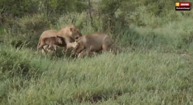 Leão salva um bezerro do ataque de outro leão  1