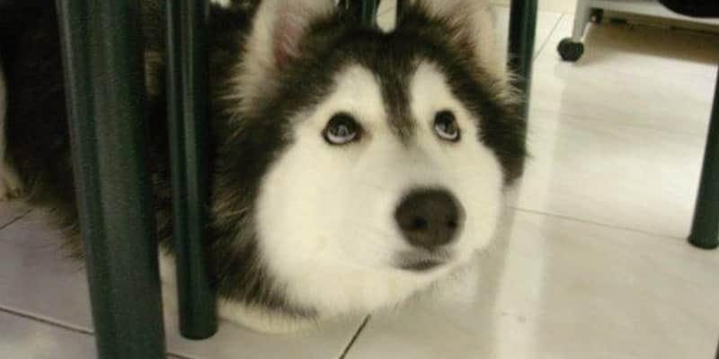 Uma cachorra que foi criada por gatos, e age como um bichano 2