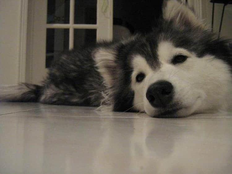 tally-husky-dog-raised-by-cats-42