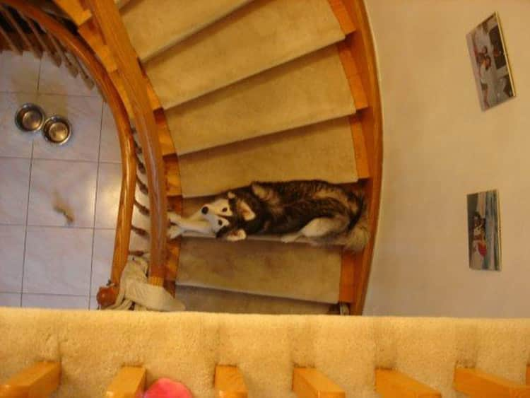 tally-husky-dog-raised-by-cats-9