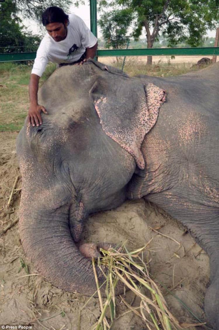 abused-elephant12