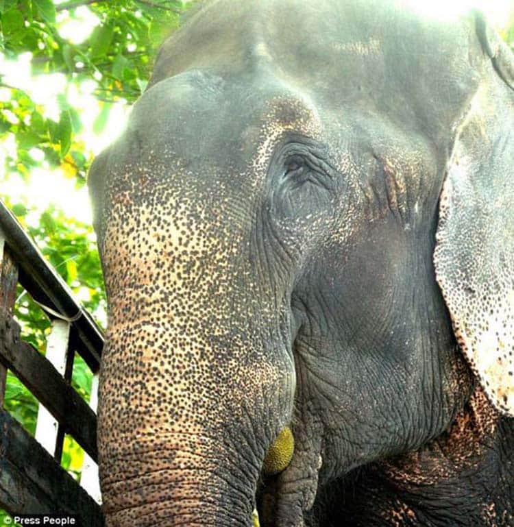 abused-elephant14