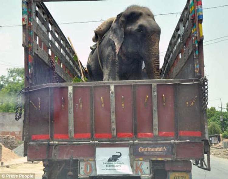 abused-elephant7