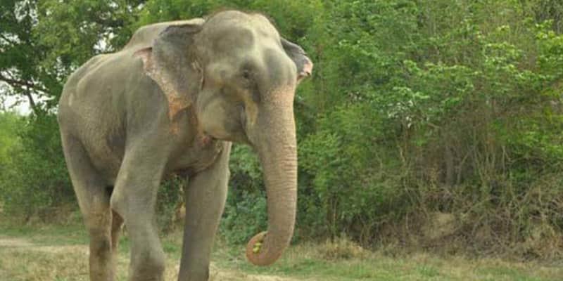 Elefante chora ao ser libertado após 50 anos preso 1