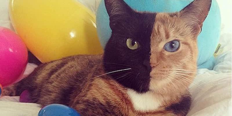 Uma gata que tem o rosto metade preto, metade caramelo e olhos de cores diferentes 1