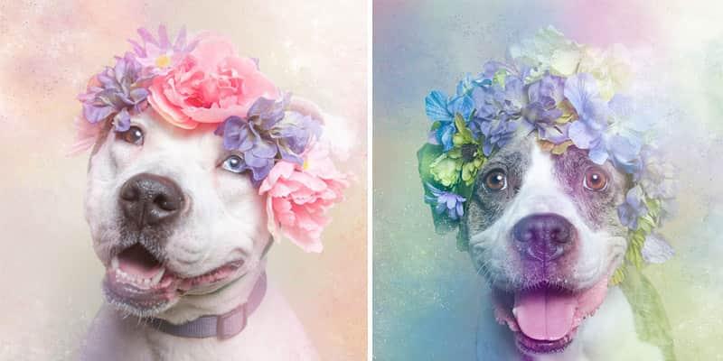 Artista fotografa Pit Bulls com coroas de flores para mostrar seu lado ameno e encorajar a adoção 4
