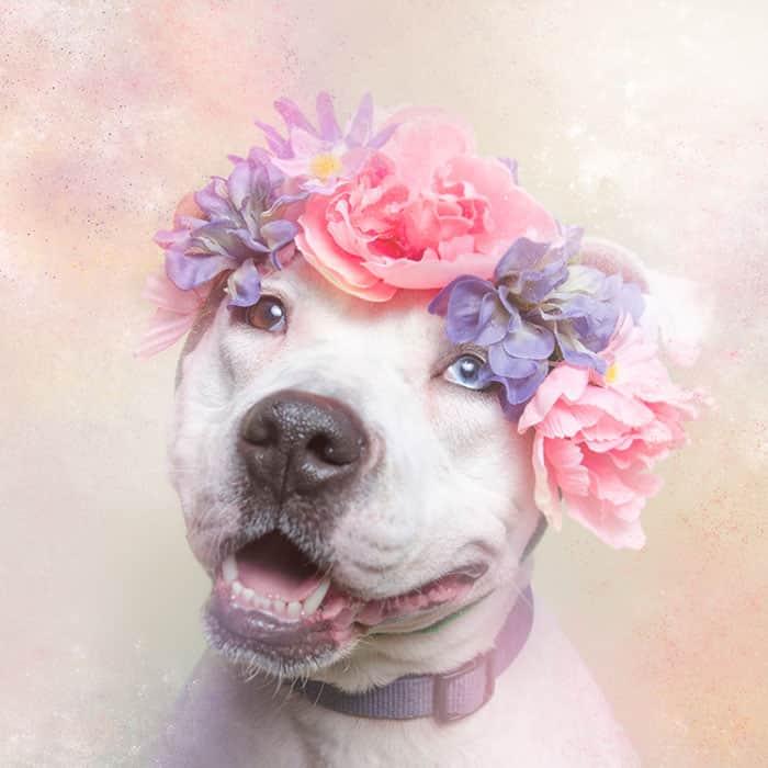flower-power-pit-bulls-dog-adoption-photography-sophie-gamand-10