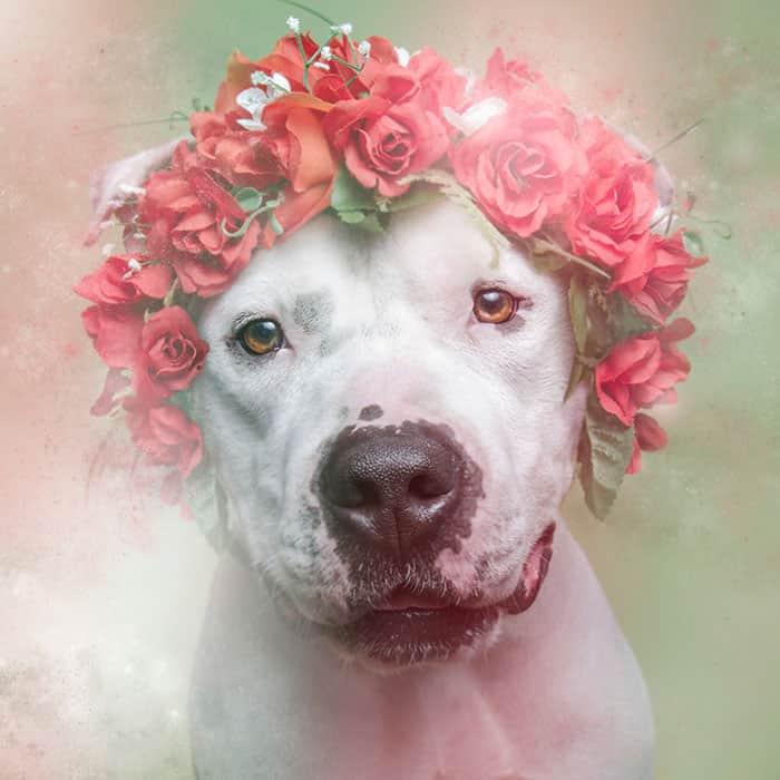 flower-power-pit-bulls-dog-adoption-photography-sophie-gamand-3