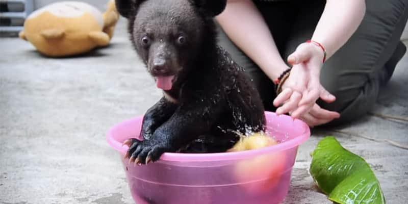 Ursinho filhote é resgatado de cativeiro na China e festeja a liberdade 4