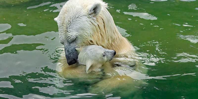 Ursos ensinando seus filhotes a serem independentes pelo poder do exemplo 1