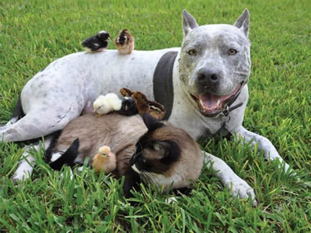 Animal-Friendships-02-DogCatChicks-sl