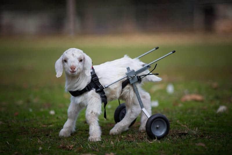Graças a uma cadeirinha de rodas, filhote de cabra com problema nas patas agora consegue andar 2