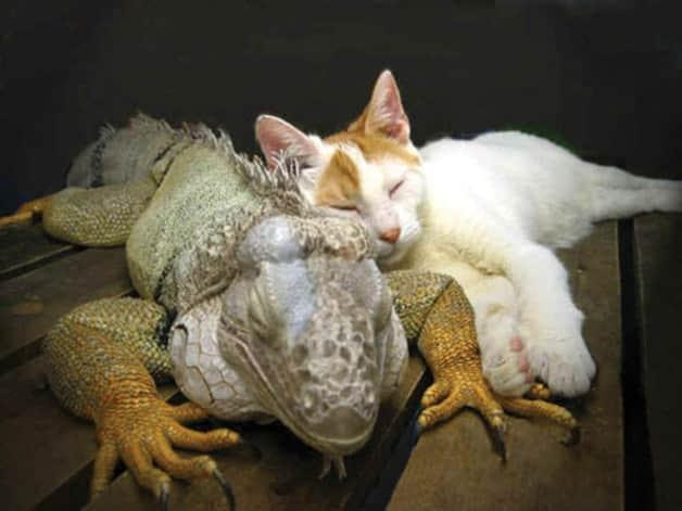 iguana-and-cat