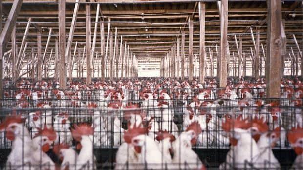 É aprovado projeto de lei que proíbe criação de animais em confinamento em SP 1