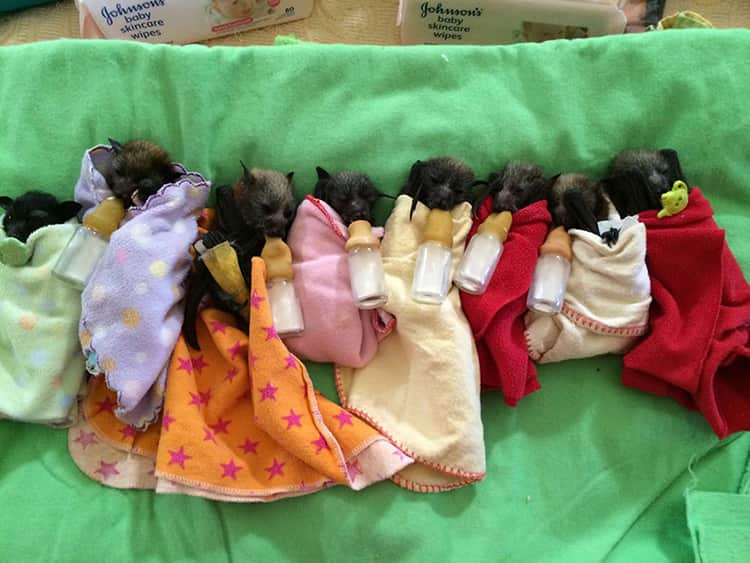 adorable-orphaned-baby-bats-australian-bat-clinic-13