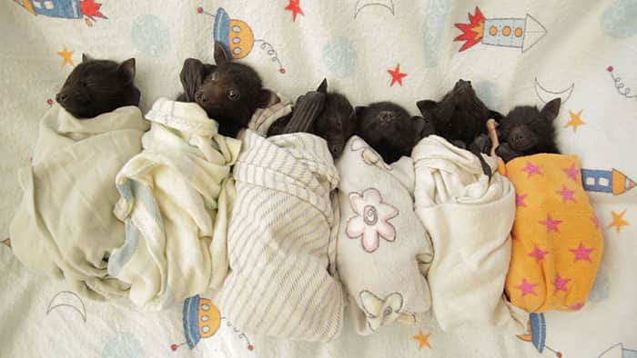 adorable-orphaned-baby-bats-australian-bat-clinic-14